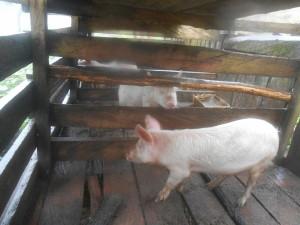 porc1